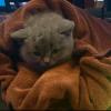英纯种蓝猫,已经打过2回疫苗,温顺,坐标四川成都