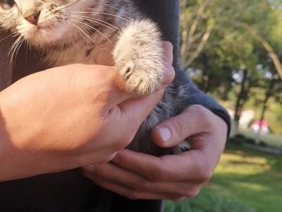 浙江宁波 折耳美短猫两个月