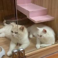 上海松江在售 纯种纯白英短母猫,可提供猫爸证书