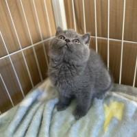 自家单血统英国短毛猫蓝猫蓝白喜马拉雅