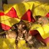 自家繁殖豹猫宝宝出售,坐标北京