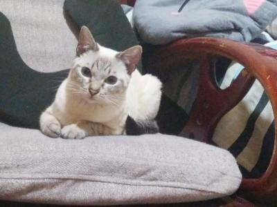 四个月小猫出售,猫咪很温顺,眼睛蓝色很漂亮