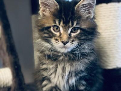 棕虎斑缅因猫,自家猫舍繁育,已驱虫疫苗,限上海地区