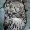 九个月的美短虎斑,公猫没有做过绝育,比较胆小(仅限西安市)