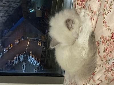 布偶猫,很温顺,很可爱的,坐标辽宁大连
