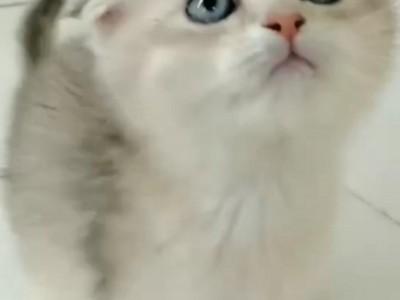 特价金渐层,蓝猫,年前出售