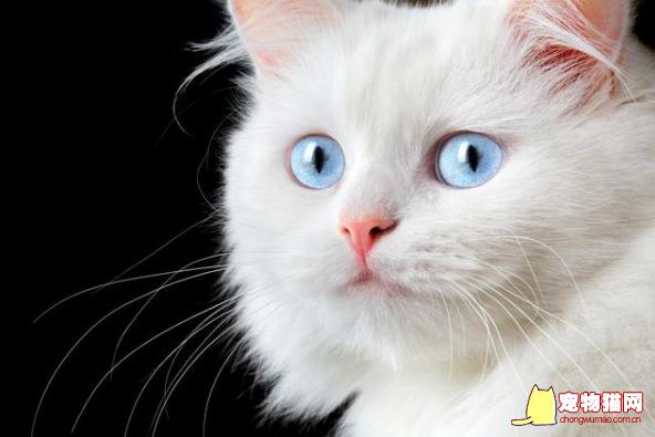 蓝眼白猫的历史