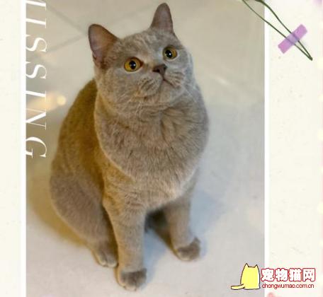 丁香色英短蓝猫