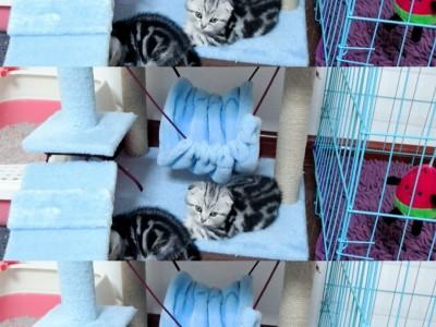 美短猫咪寻铲屎官,无病无猫癣,健康可爱,坐标北京
