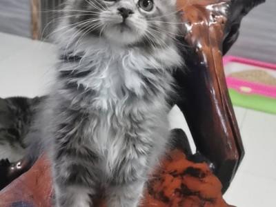 一然缅因猫舍欢迎你来咨询