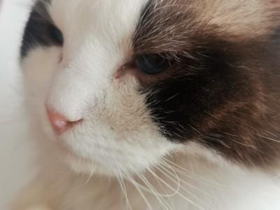 天津地区布偶猫蓝眼睛