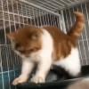 山东日照加菲猫(幼崽)很活泼,猫咪包健康