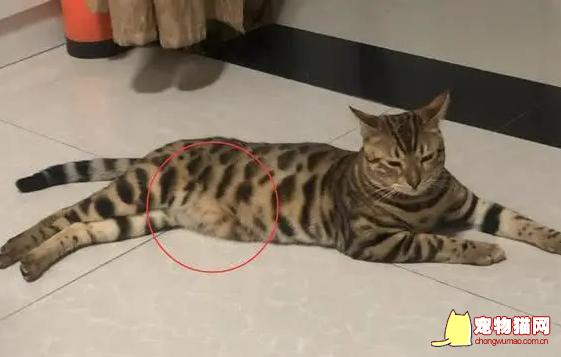 猫有小肚子