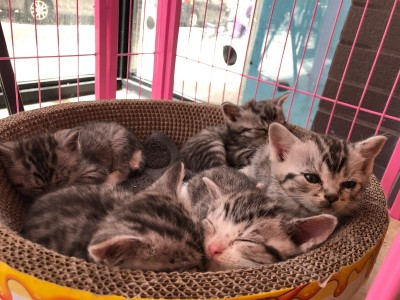 虎斑蓝眼睛低价出,三只母猫一只公猫