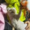 长毛加菲猫,已打疫苗 已绝育,坐标江苏南通