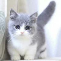 出售美短,英短(银渐层,蓝猫蓝白猫,银点)加菲,布偶,金吉拉