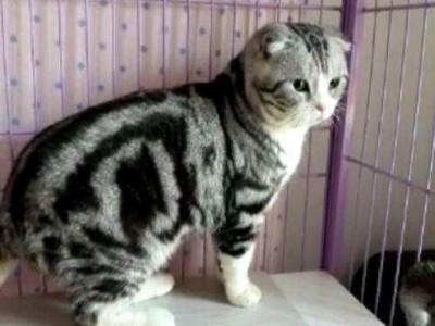 领养英短折耳加白起司猫虎斑猫