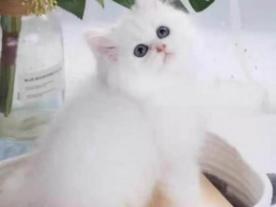金吉拉(出售多种宠物猫,可上门选购)