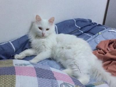 五个月纯白长毛缅因幼猫,疫苗齐全,等待她的主人