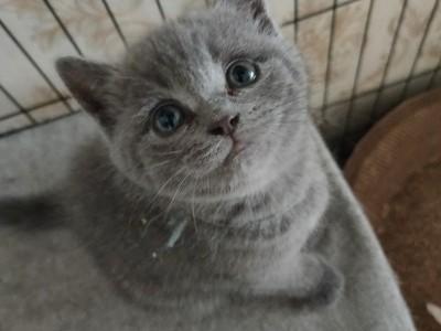 自家繁殖纯种蓝猫宝宝