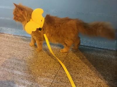 缅因猫和橘猫的混合,已打疫苗,送猫砂盆 猫砂 猫粮 猫笼