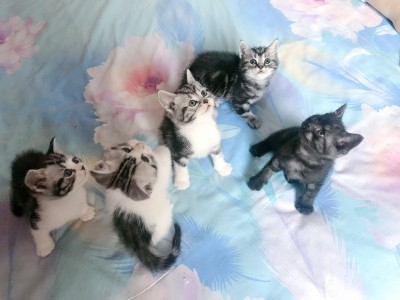 自家美短猫咪,加白标斑均有。可支持上门看猫