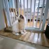 布偶猫种猫有血统证,猫咪健康 两针疫苗 驱虫