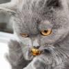 英短蓝猫 各方面很健康 疫苗狂犬疫苗全部接种