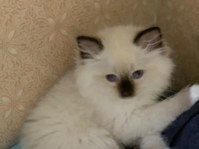 布偶猫萌妹子,宠物店购买的,坐标广东惠州