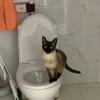 暹罗猫咪,只接受同城哦,坐标大连