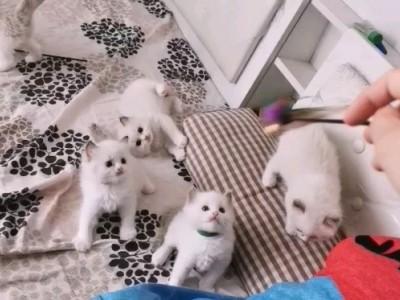 北京家养双血统布偶猫,公母全有