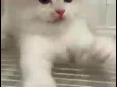 家养布偶猫,几天前猫舍买的,疫苗驱虫已做