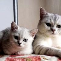 自家纯种银渐层猫咪繁殖的第一窝猫宝,坐标青岛