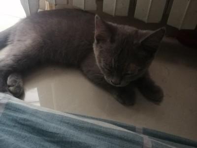 放假了 家里不让养 没人照顾 低价出售英短猫 好心人带走