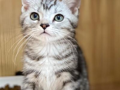 自家繁育美短/虎斑/加白起司猫,弟弟妹妹都有