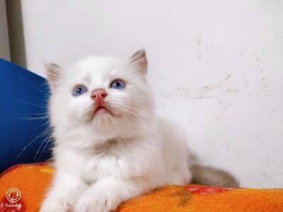 家养布偶猫已驱虫,坐标安徽宣城