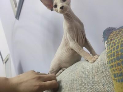 斯芬克斯无毛猫纯血统有绿卡,自己家的宝宝生的