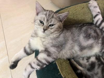 家养银渐层小猫出售,平时工作忙,没法照顾