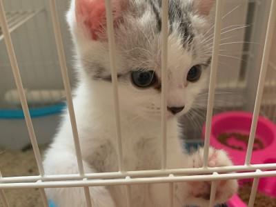 自家繁殖美短,活泼可爱,无病无癣,会用猫砂