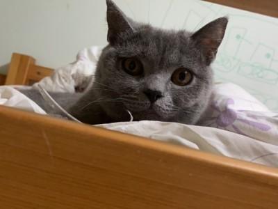 英国短毛猫出售,家里原因不能养猫了