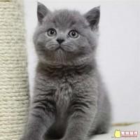 自家猫生的英短蓝猫,活泼粘人,坐标浙江绍兴