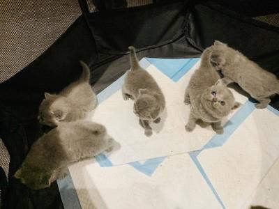 自家养的蓝胖子五只驱虫疫苗已做,可以吃猫粮