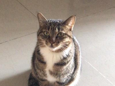 广州市,一般家猫,猫已打疫苗及做了绝育