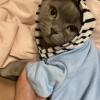 淮安 英短蓝猫  食欲好 不乱叫  温顺 身体健康