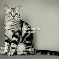出售虎斑猫 天津虎斑  血统纯正 加白起司 加白起司五粉