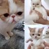 加菲猫领养,一只大猫妈妈带2个宝宝打包2500