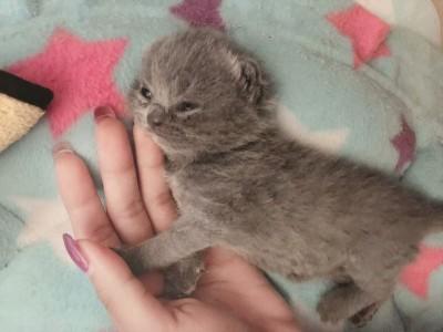 自家繁殖英国短毛猫,已驱虫,已打疫苗,坐标广东惠州