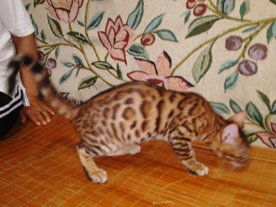 三个多月的豹猫,三公一母,坐标北京丰台区