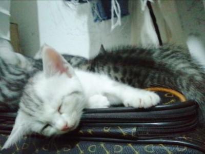 美短猫猫自家生的,会用猫砂,活泼可爱