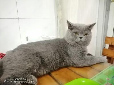 此猫在重庆江津,好养,乖巧包子脸